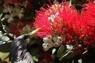 A starling investigates the first pohutukawa flowers of the season. Photo / Alan Gibson
