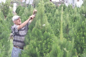 Ron Misa trims branches from Christmas trees at his Balmoral property. Photo / Martin Sykes.
