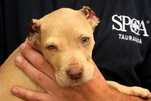 Trooper, the eight-week-old pit bull puppy found in Tauranga with his ears cut off. Photo / Alan Gibson