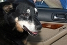 The SPCA warned against leaving dogs in cars, saying they needed to be in cool fresh air to moderate their temperature. Photo / Wairarapa Times-Age