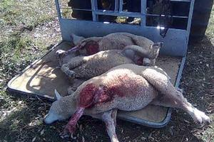 The destroyed lambs. Photo / Supplied