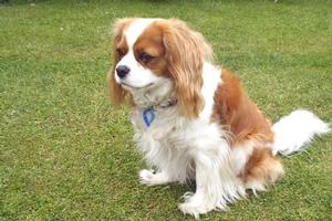 Archie, Garth George's Cavalier King Charles spaniel, is a loving companion. Photo / Supplied