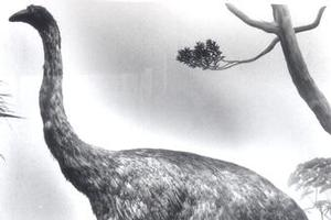 New research shows male moa were heavily outnumbered by bullying females. Picture / Supplied