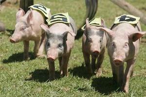 Pig racing during the 2009 Katikati A&P Show. Photo / Bay of Plenty Times.