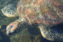 The green turtles at the Satoalepai wetlands eventually get released into the ocean. Photo / Angela Gregory