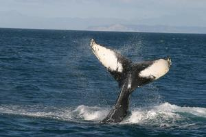 Humpback whales are being targeted in research over dwindling herring stocks. Photo / DOC