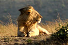 The Masai Mara's wildlife is being threatened by an explosion of camps and lodges in the area, many of which are operating illegally, according to a Kenyan government audit. Photo / Vinay Gupta