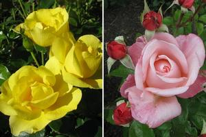 Roses you'll love on Valentine's Day, including Serendipity (left) and Aotearoa. Photos / Supplied