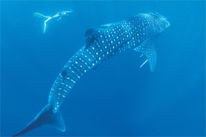 Swimming with majestic whale sharks at Western Australia's Ningaloo Reef is one of the state's attractions. Photo / Tourism Western Australia