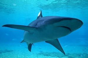 A Bronze Whaler shark