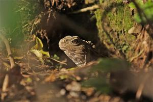 Tuatara at Karori Sanctuary. Photo / Zealandia/Karori Sanctuary Trust