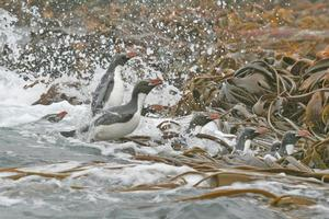 Snares crested penguins leap ashore on The Snares, a group of islands protected from human intrusion. Photo / Jim Eagles