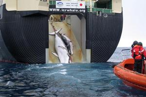 Australia warns it will go to the International Court of Justice if Japan does not stop whaling. Photo / AP