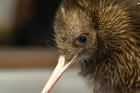 A Brown Kiwi chick inside the new facilities at Pukaha Mt Bruce. Photo / Supplied