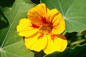 Pretty and edible, nasturtium flowers are a feast for the eyes and the tastebuds. Photo / Sarah Ivey