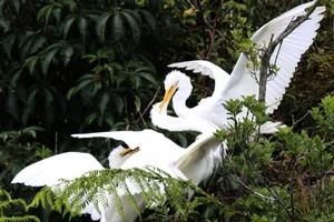Kotuku birds. Photo / Jim Eagles