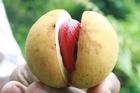 Nutmeg fruit at Wainadoi Spice Gardens, Fiji. Photo / Jim Eagles
