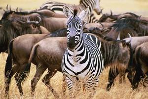 Zebra and wildebeest in Tanzania. Photo / Stuart Kirk