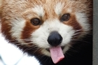 Amber the red panda at Auckland Zoo. Photo / Brett Phibbs