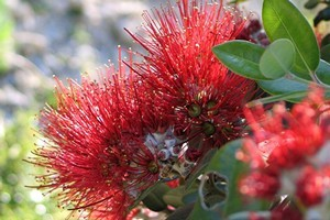 Pohutukawa can thrive in a restricted environment such as a pot. Photo / Bay of Plenty Times