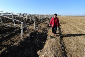 Farmer Wang Yulan walks along her arid plot of land as the end of winter approaches. Photo / AFP