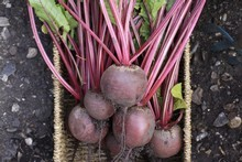 You can grow beetroots year round for a plentiful supply. Photo / Thinkstock