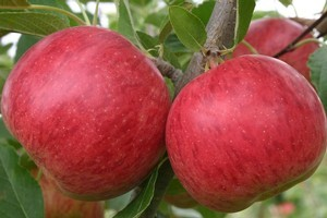 Alexander the Great introduced apples to the west from the Asian steppes. Photo / Supplied