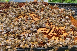 Bees have surprisingly similar brain cells to those of humans. Photo / Bay of Plenty Times