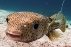 Porkie, the world famous porcupine fish, at Koh Haa. Photo / Victoria Mackenzie