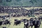 The 500km wildebeest migration is one of the greatest wildlife shows on earth. Photo / Getty Images