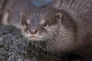 Otters are a protected species in England. Photo / APN