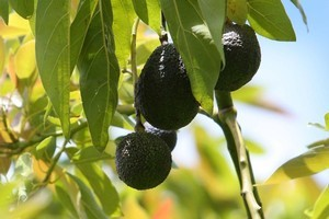 Trim your avocados at the start of winter. Photo / Northern Advocate