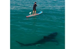 Chris Fallows paddled out to meet the 4-metre great white shark to show that the feared ocean giant is no threat to people in the sea. Photo / HGM-Press