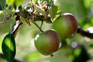 It's worth persevering with growing your own apples because nothing beats fruits fresh from the tree. Photo / Hawke's Bay Today
