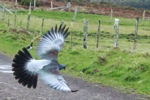 The rare Chatham Islands parea or local wood pigeon. Photo / Jim Eagles