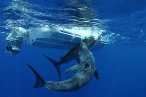 great white shark eats marlin by  a fishing boat
