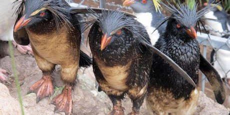Rockhopper penguins on the island chain of Tristan da Cunha. Photo / AP