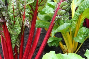 The new hybrid rainbow beet adds a splash of colour to the winter garden. Photo / Supplied