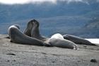 Elephant seals at Almirantazgo Sound. Photo / Jill Worrall