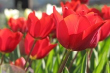 Springtime tulips will be a welcome sight after a bleak winter. Photo / Bay of Plenty Times