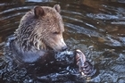 Head to Canada to catch a glimpse of grizzly bears fishing for their dinner. Photo / Tourism BC