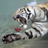 Akasha, a two-year-old female Bengal tiger, eyes a chunk of meat underwater that was thrown into her pool at Six Flags Discovery Kingdom in Vallejo, California. Photo / AP