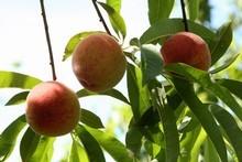 Stone fruits such as peaches grow better in colder conditions. Photo / Hawke's Bay Today