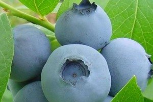 Blueberries generally prefer the cold, but some varieties are less fussy. Photo / WAIKATO PHOTOGRAPHY/RHYS PALMER