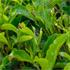 Sungai Palas tea plantation. Photo / Tourism Malaysia