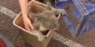 Watch: Stolen koala reunited with keepers