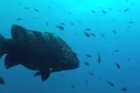 Footage of new fish species during New Zealand's largest ever scientific expedition to the Kermadec Islands.