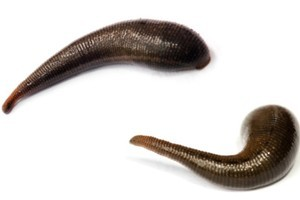 A new kind of leech that makes these ones look cuddly has been discovered in Peru. Photo / Thinkstock