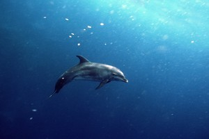 Researchers are working on creating a language to facilitate communication with dolphins. Photo / Thinkstock
