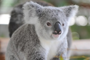Koala numbers have been falling but there is indecision with how to deal with the problem. Photo / Supplied